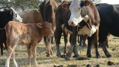 Tras allanamientos detienen a dos sujetos acusados de hurto de ganado mayor