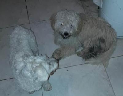 Encontraron a dos caniches en el Barrio Villa Aurora y buscan a sus dueños