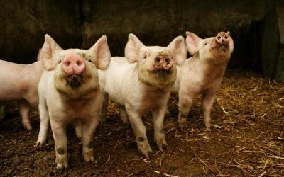 Dictaran un curso sobre Producción Porcina