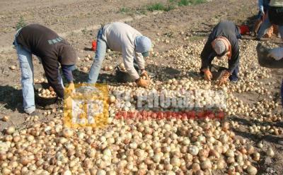 Colonia El Simbolar: Secuestran 500 bolsas de cebolla que habían sido robadas