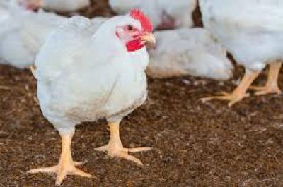 Por el calor murieron 5000 pollos parrilleros